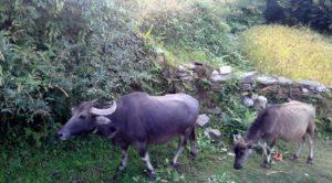 Buffalo farming Nepal - Buffalo farm Nepal