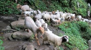Goat farm Nepal - Commercial goat farming in Nepal