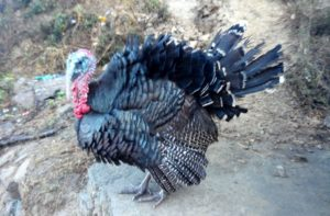 Turkey farm in Eastern Nepal - Turkey farming guide with turkey meat price in Nepal