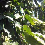 Himalaya organic coffee in Nepal