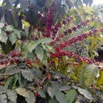 Best organic coffee in Nepal - Nepali organic coffee