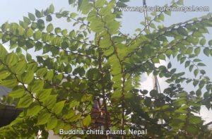 buddha chitta farming in Nepal and Buddha chitta plants Nepal
